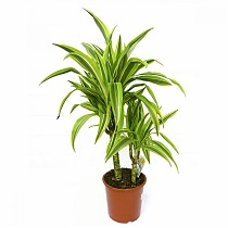 Лемон Лайм - Dracaena fr. Lemon Lime D14 H50