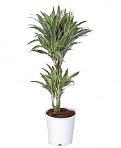 Драцена деремская (душистая) Сюрприз - Dracaena fragrans surprise D20 H90