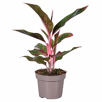 Аглаонема Лайт пинк стар - Aglaonema Light Pink Star D12 H35
