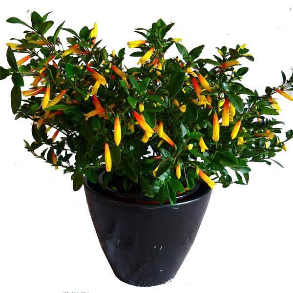 Якобиния описание видов и фото уход за растением в
