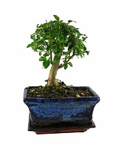 Бонсай Лигуструм - Bonsai Ligustrum D10 H15