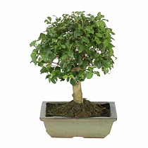 Бонсай Лигуструм - Bonsai Ligustrum D15 H20