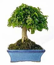 Бонсай Лигуструм - Bonsai Ligustrum D12 H18
