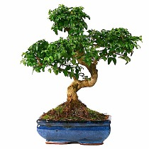 Бонсай Лигуструм - Bonsai Ligustrum D20 H35