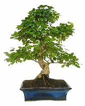 Бонсай Лигуструм - Bonsai Ligustrum D18 H28