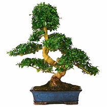Бонсай Лигуструм - Bonsai Ligustrum D35 H45