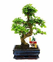 Бонсай Лигуструм - Bonsai Ligustrum D15 H25