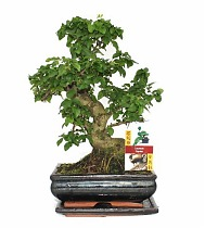 Бонсай Лигуструм - Bonsai Ligustrum D20 H30