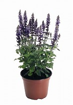 Шалфей лекарственный - Salvia officinalis D14 H30