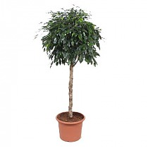 Фикус Бенджамина Миднайт Леди - Ficus Midnight Lady D40 H170