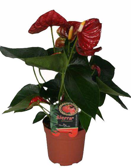 Антуриум Андреанум Бьюти Шоколад - Anthurium  Chocolate Beauty коричневый D17 H60